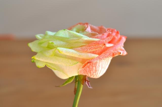 Rose bicolore 5